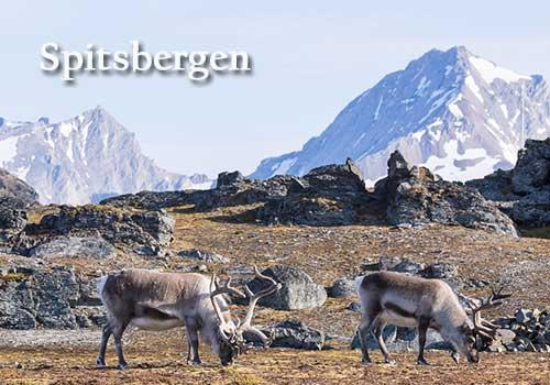 Spitsbergen Cruise - Spitsbergen reindeer
