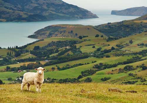 New-Zealand-Cruise-Pastoral Scene