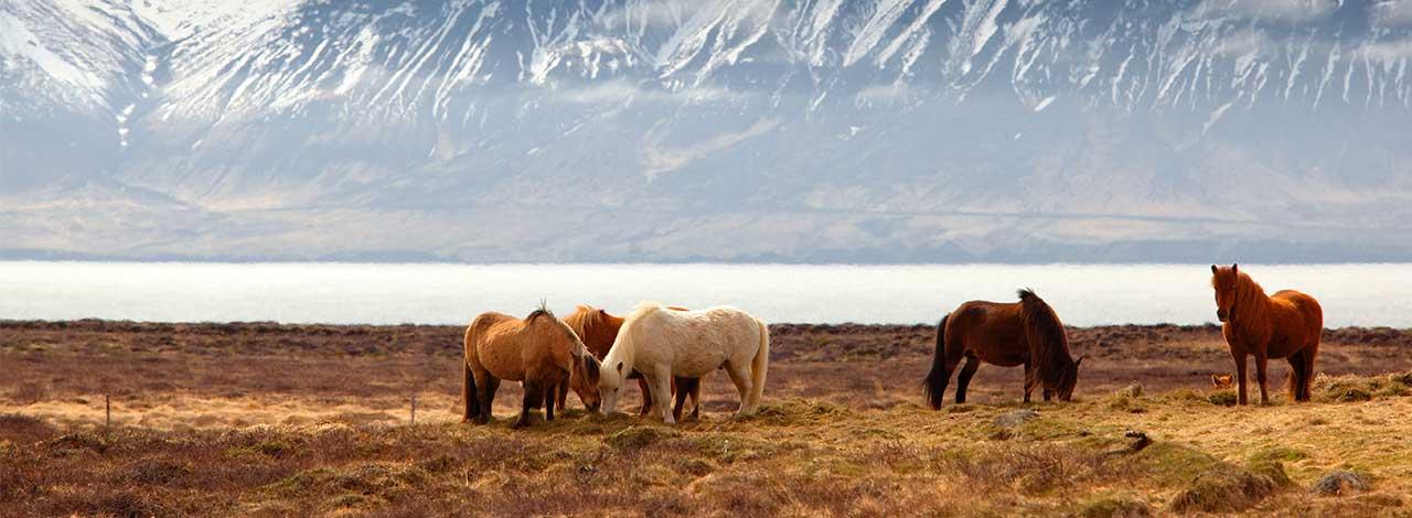Escorted-Cruise-Iceland-to-Boston: Iceland-Horses